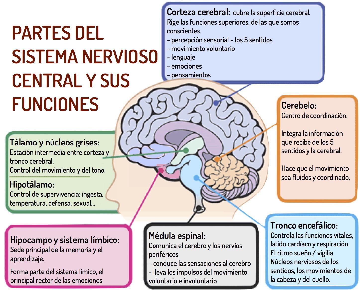 Avc, Sistema Nervioso, Cerebro Y Dieta