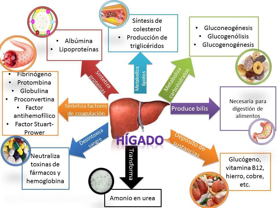 Perfecto Ubicación De Hígado Humano En El Cuerpo Colección ...